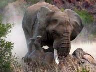 Elephant-V-Rhino