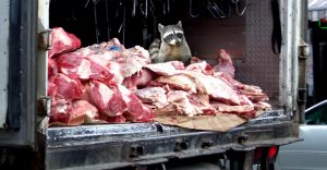 Meat-racoon